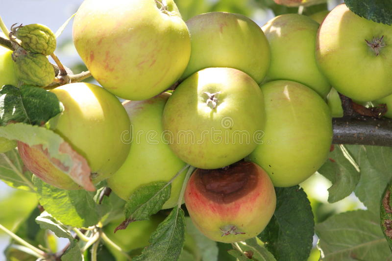 Apples. A lot of good and one bad apples on the tree stock photos