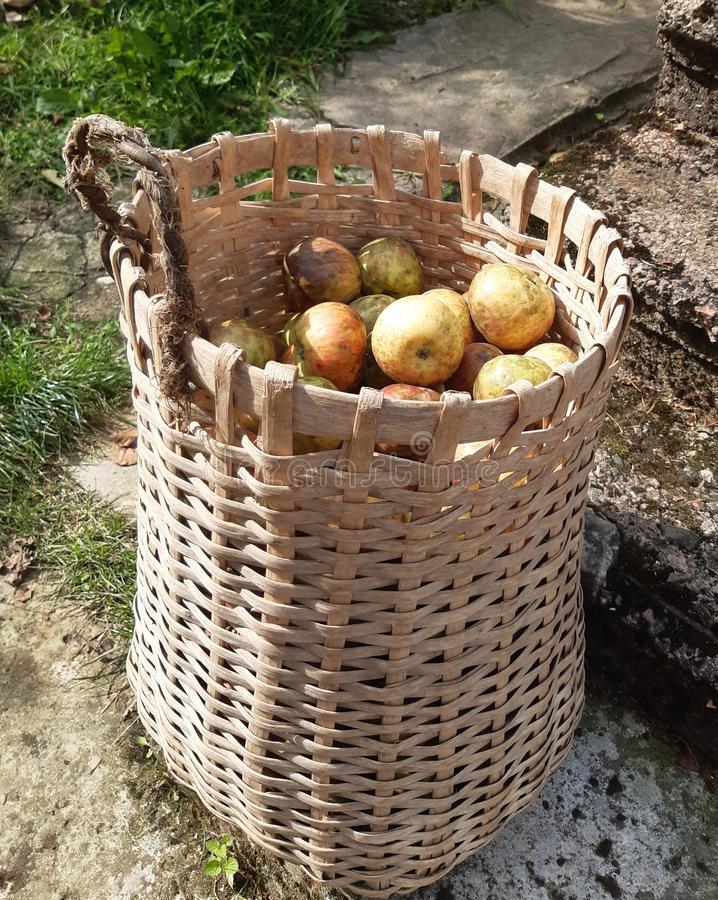 Apples. Many, sun, yummu, yummy, fresh royalty free stock photo