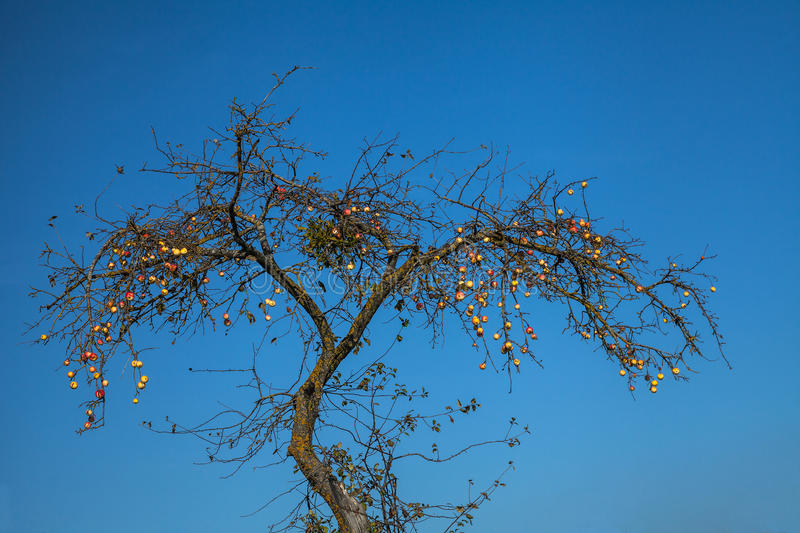 Apples on an old tree royalty free stock images