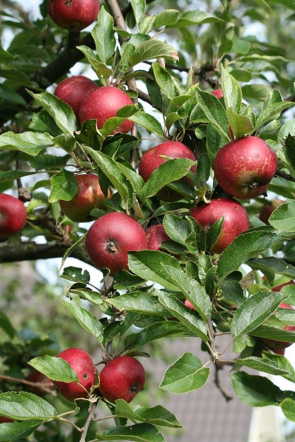 Free Apples On Tree Stock Photo - 3191110
