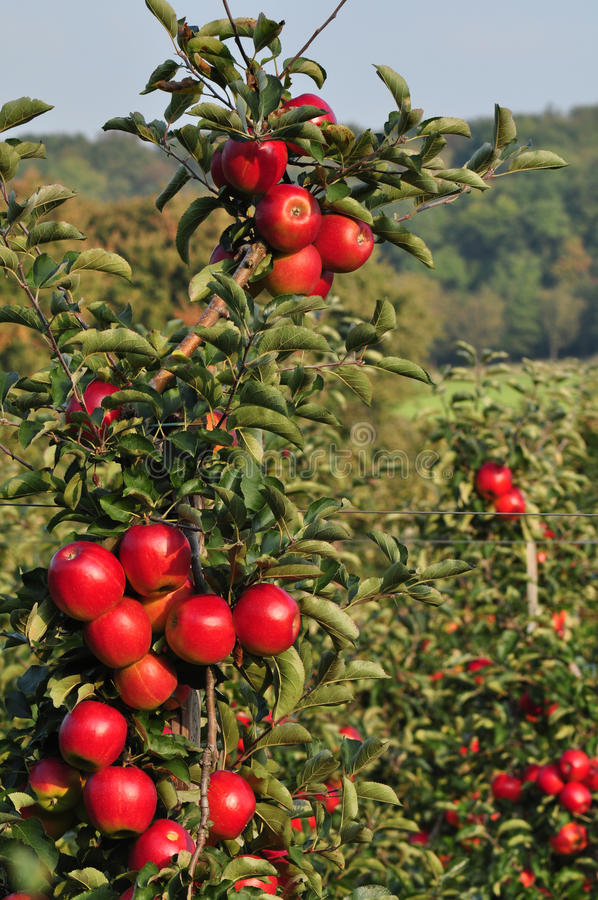 Download Apples Orchard stock photo. Image of farming, apples - 16868990