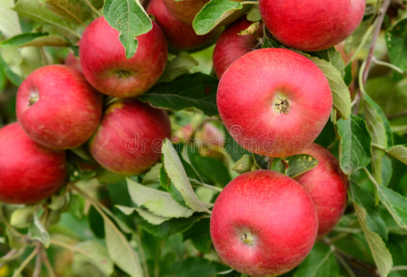 Apples in an orchard royalty free stock photos