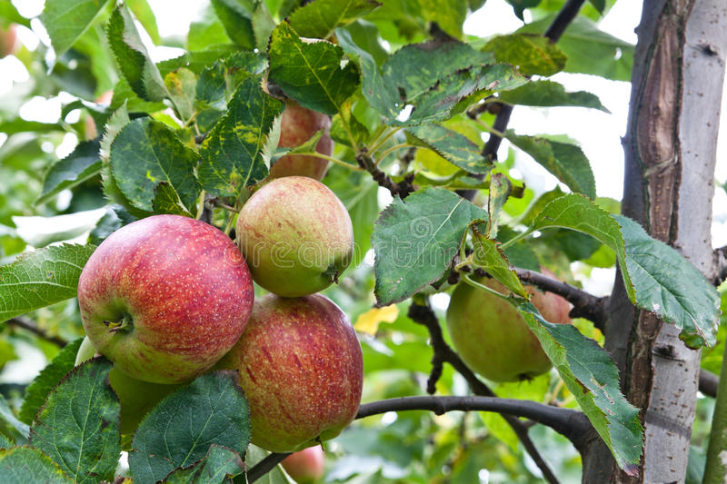 Download Apples ready to be plucked stock photo. Image of tree - 16793192
