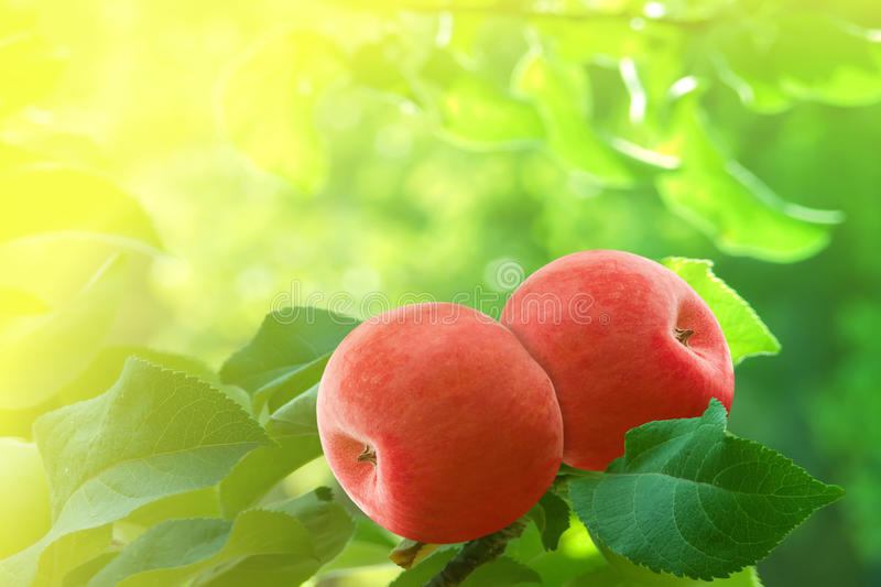 Apples red tree royalty free stock images