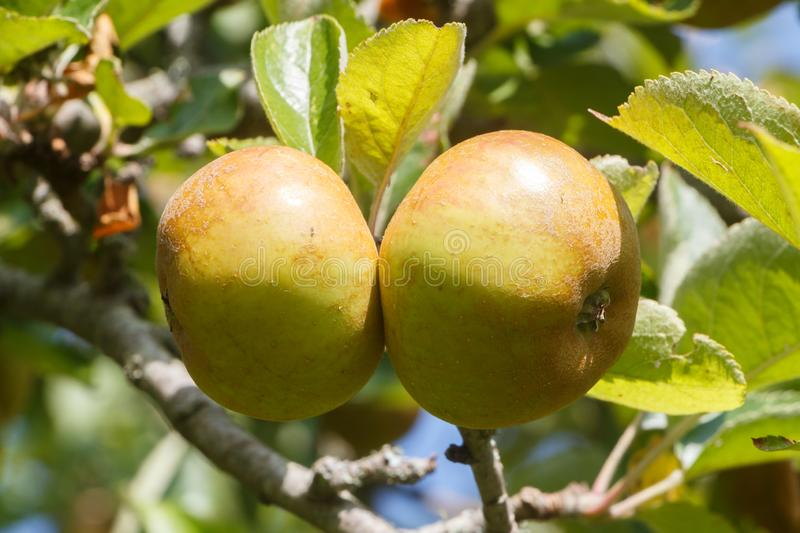 Apples ripening on an apple tree. In an orchard during summer royalty free stock images