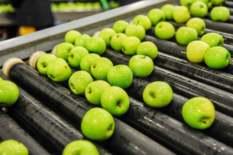 Apples sorting and packing stock photo