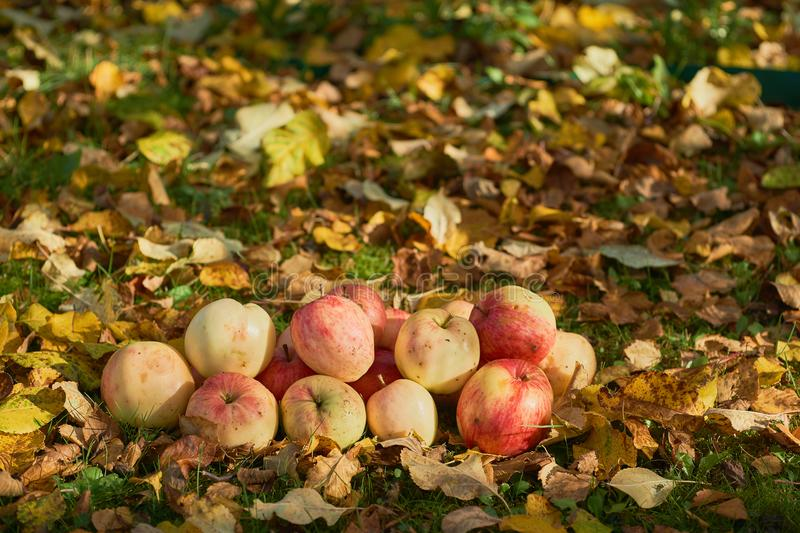 Apples stacked in a pile on the ground in the garden stock images