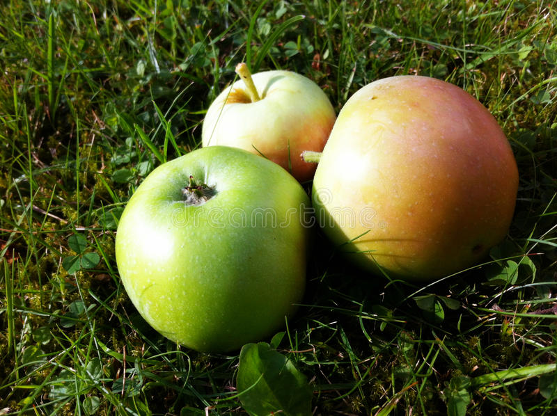 Download Apples stock photo. Image of healthy, windfalls, turf - 33348730