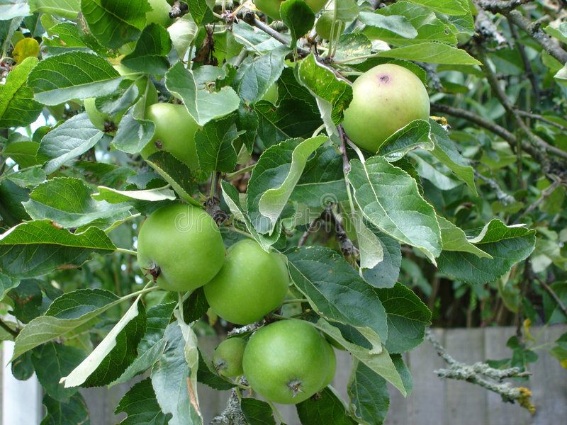 Download Apples on a tree stock photo. Image of apples, grow, tasty - 172216