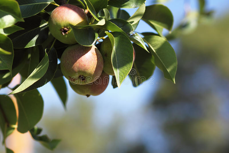 Apples on Tree. Apples ripening on a tree stock photos