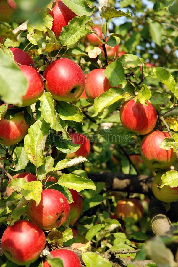 Apples on a tree. Ripen apples on a tree bough ready to be collected and eaten royalty free stock images