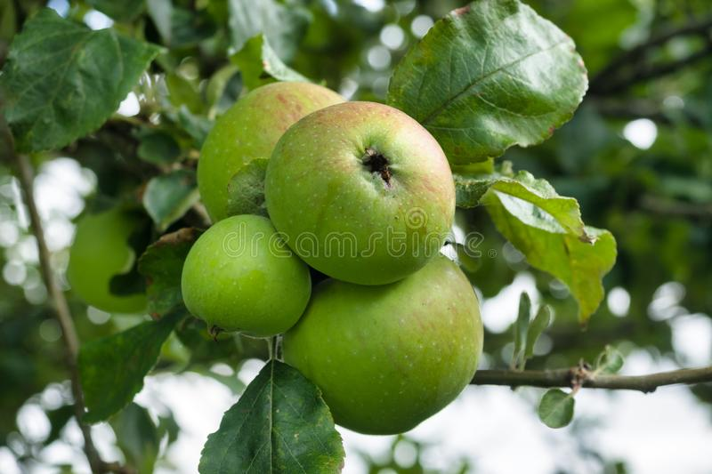 Apples on the tree. In September. Truro, Cornwall, United Kingdom, Europe stock photos