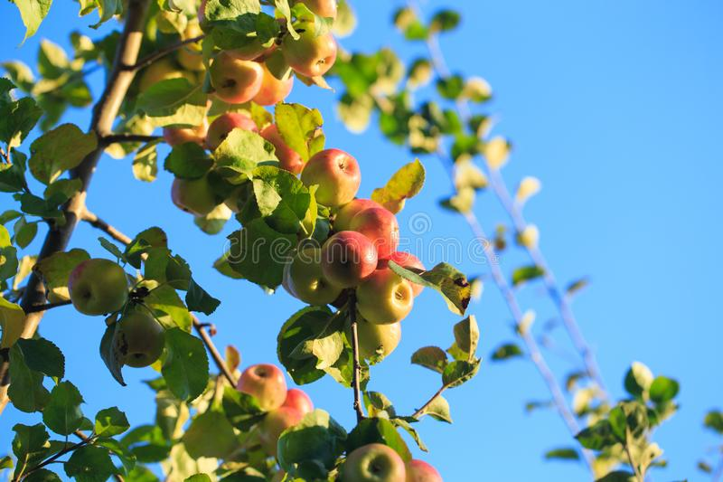 Apples on a tree branch against a blue sky. agricultural natural background royalty free stock photography