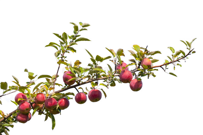 Download Apples stock image. Image of hanging, green, apple, nobody - 33941143