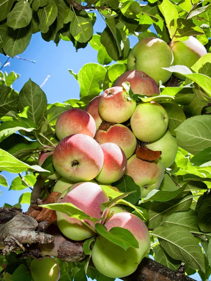 Apples on a tree. royalty free stock image