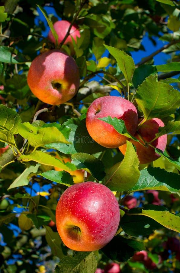 Apples on tree royalty free stock photo