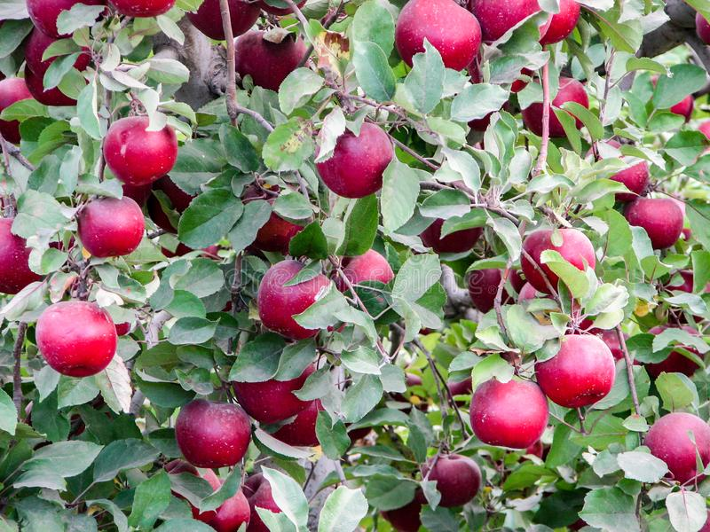 Apples on a tree ready for harvest stock photography