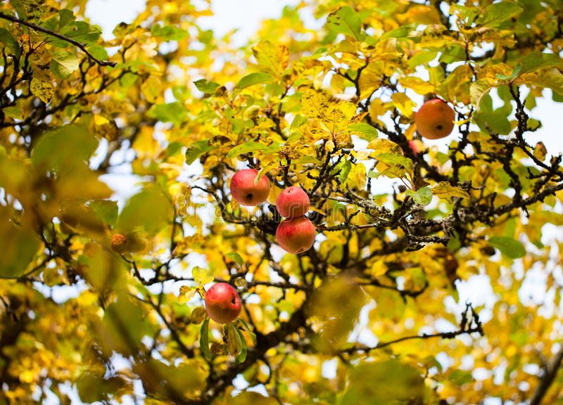 Apples on a tree. Red apples on a tree at autumn royalty free stock photos