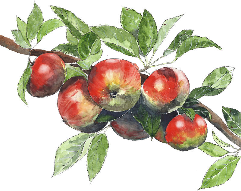 Apples on a tree watercolor illustration painting isolated on white background. Apples on a tree watercolor illustration painting isolated on white royalty free illustration