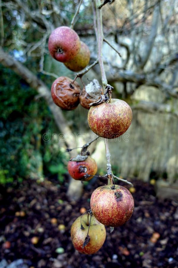 Apples in various states of decay, left hanging on a leafless ba. Re winter tree stock photos