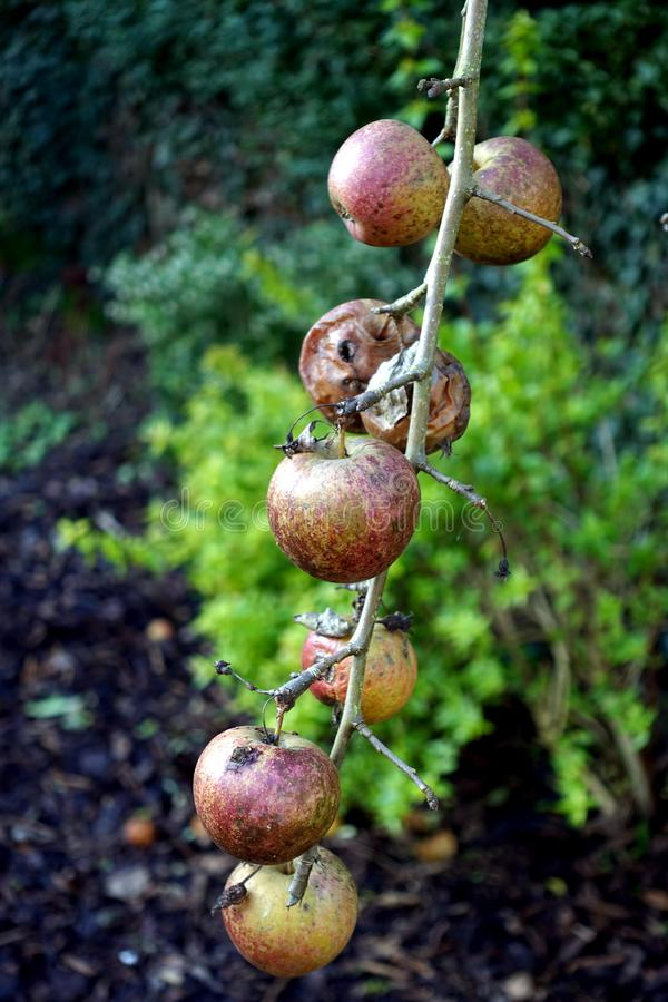 Apples in various states of decay, left hanging on a leafless ba. Re winter tree stock photo