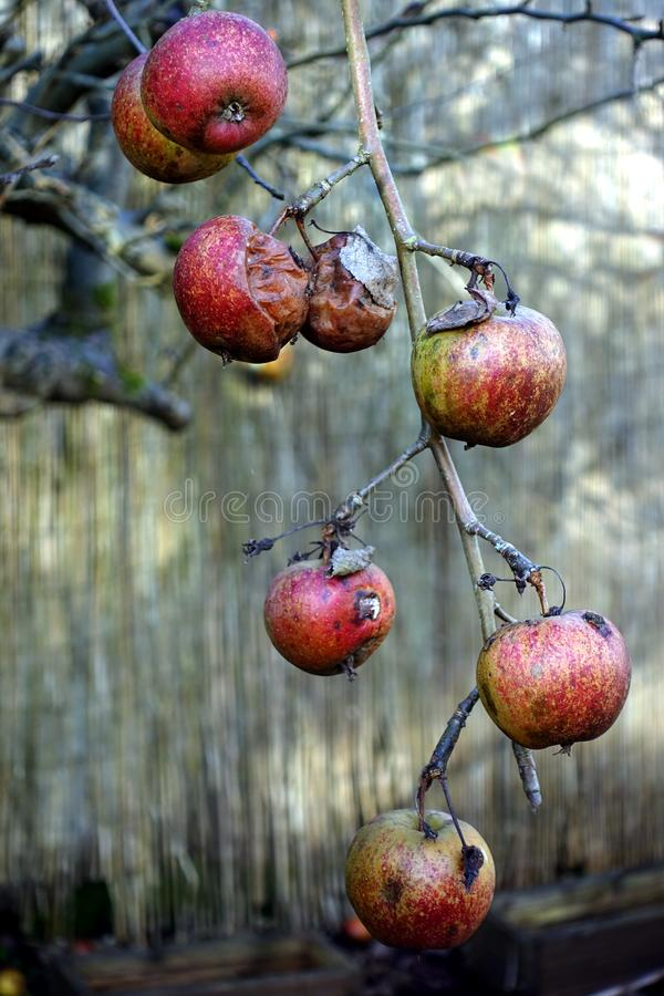 Apples in various states of decay, left hanging on a leafless ba. Re winter tree stock photography
