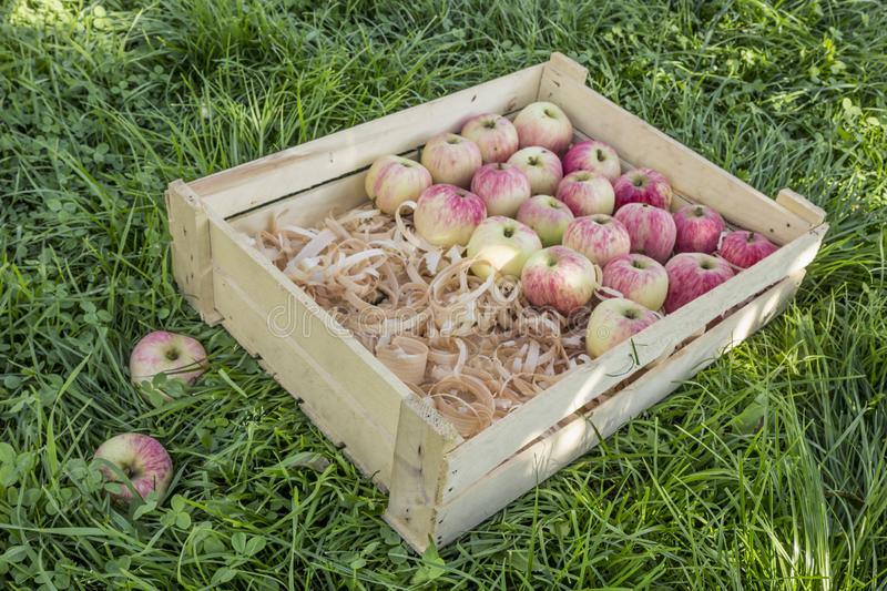 Apples in a wooden box with shavings. On a green lawn royalty free stock images