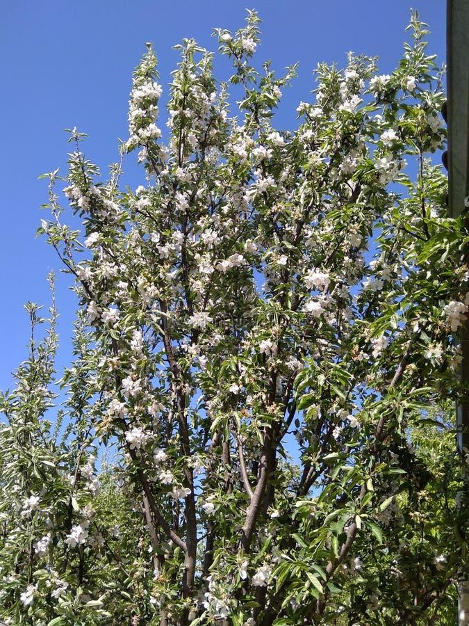 Appletree fotografía de archivo