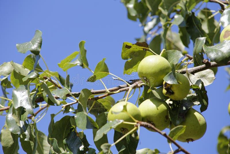 Appletree стоковое изображение