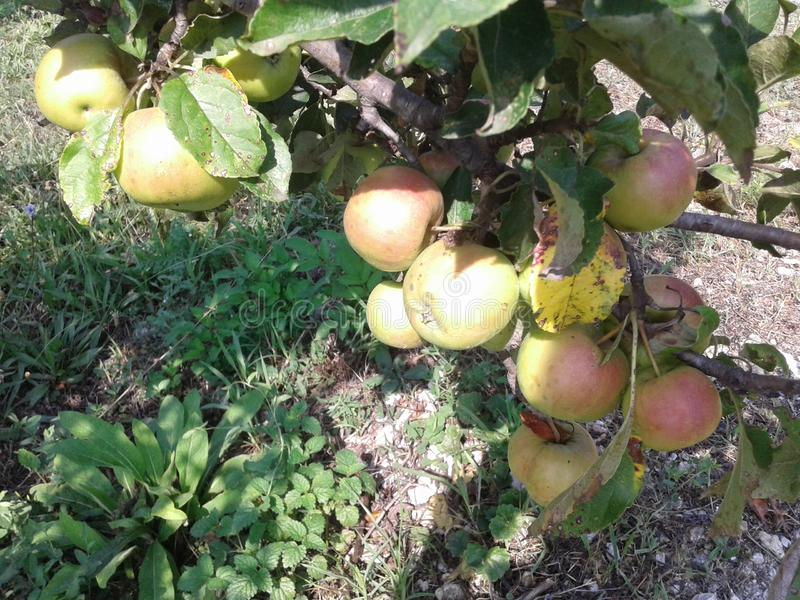 appletree. the branch is dotted with apples. harvest time. Nature royalty free stock image