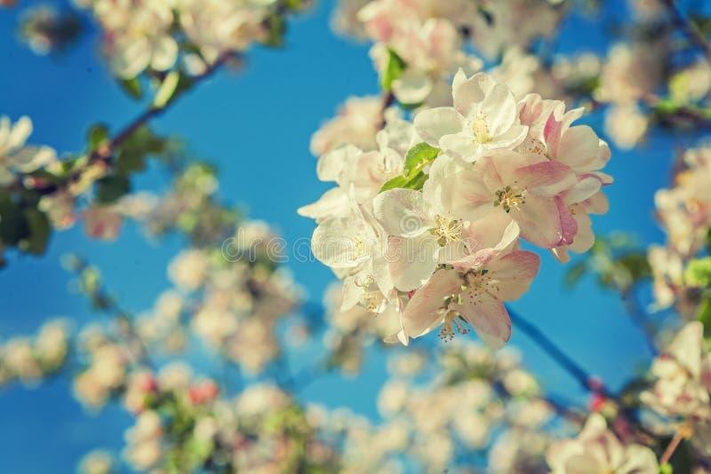 Appletree okwitnięcie na backgropund niebieskiego nieba instagram przełaz obraz stock