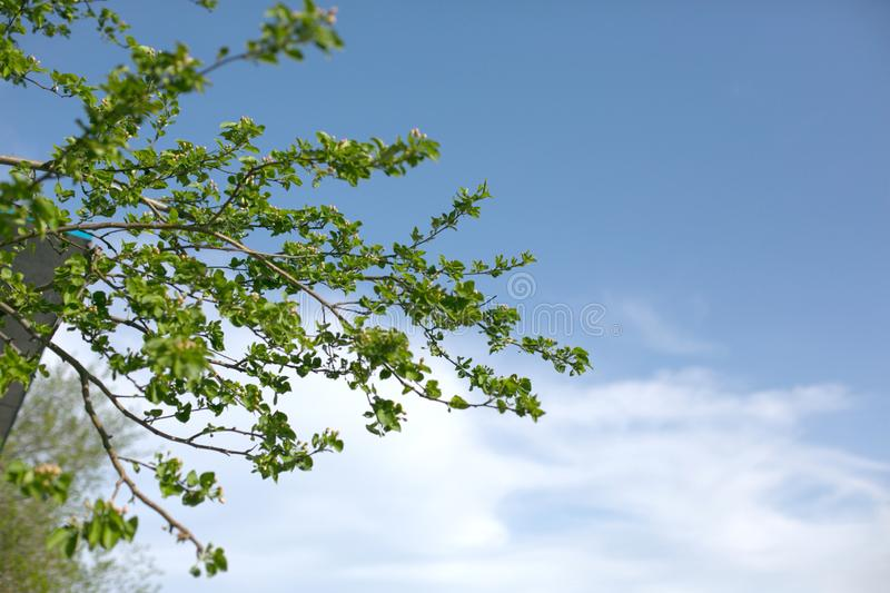 An appletree twigs with small buds in front of blue sky backgroung stock photography
