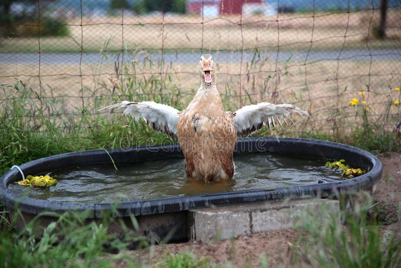 Appleyard Duck Flapping Wings royaltyfria bilder