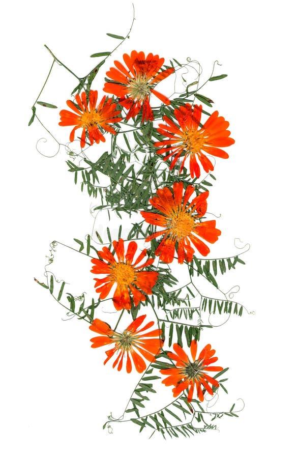 Download Application, Un Bouquet Des Fleurs Sèches De Calendula Et Feuilles O Photo stock - Image du perspective, organique: 77155248