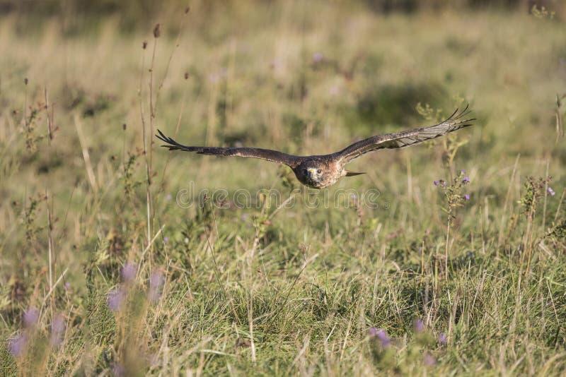 Applomado Falcon CRC. Applomado Falcon at Canadian Raptor Conservancy; trained to fly from perch to perch; Carol Gray; grayfoxxpixx.com; 2016 royalty free stock photos