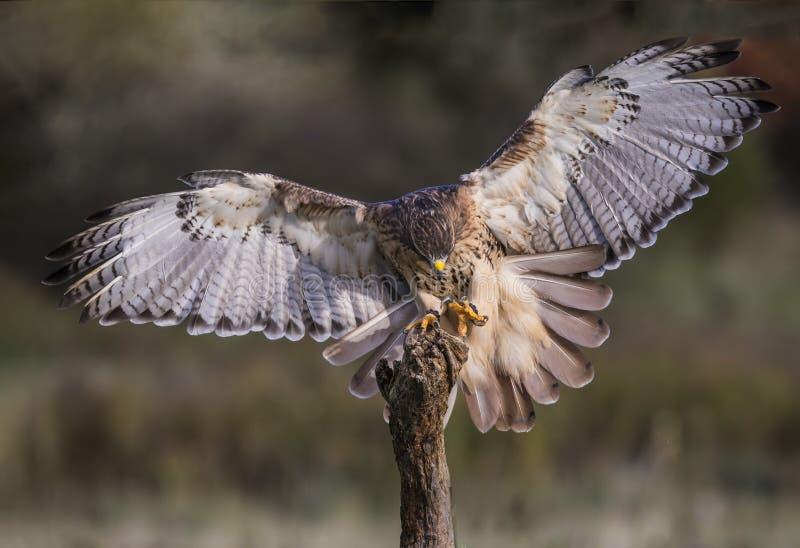 Applomado Falcon CRC. Applomado Falcon at Canadian Raptor Conservancy; trained to fly from perch to perch; Carol Gray; grayfoxxpixx.com; 2016 royalty free stock photo