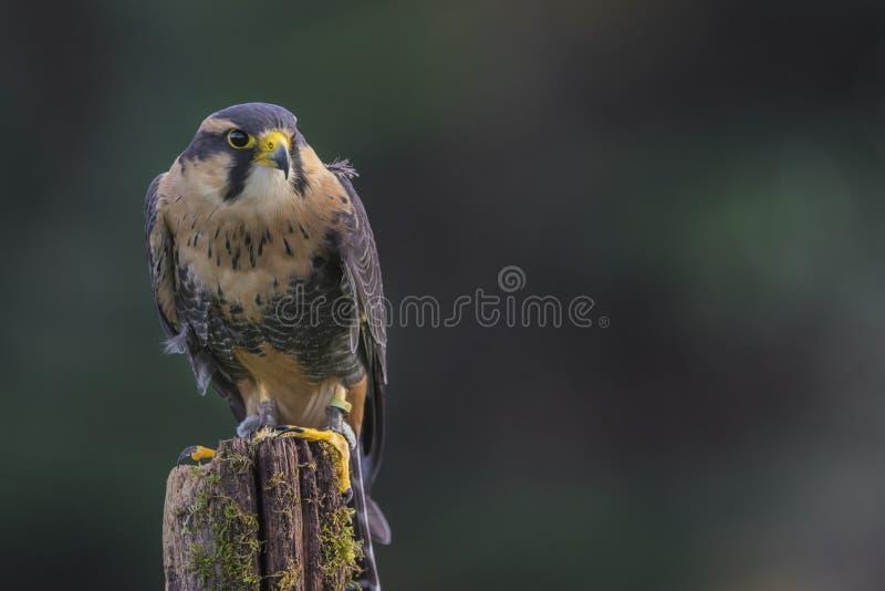 Applomado Falcon CRC. Applomado Falcon at Canadian Raptor Conservancy; trained to fly from perch to perch; Carol Gray; grayfoxxpixx.com; 2016 stock photography