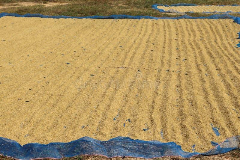 Apportez le riz au soleil photos libres de droits