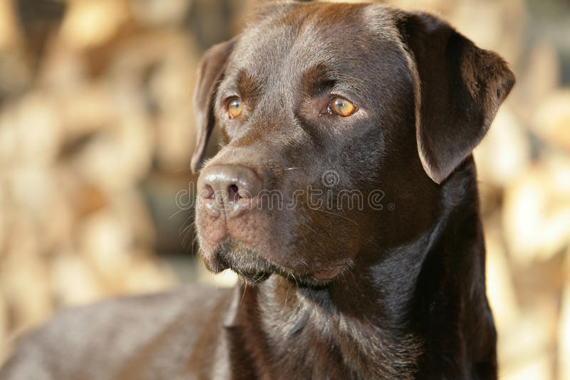 Apportierhund Brown-Labrador stockbild