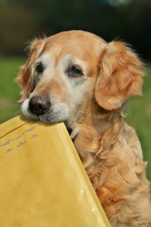 Apportierhundassistent von Mailman stockfoto