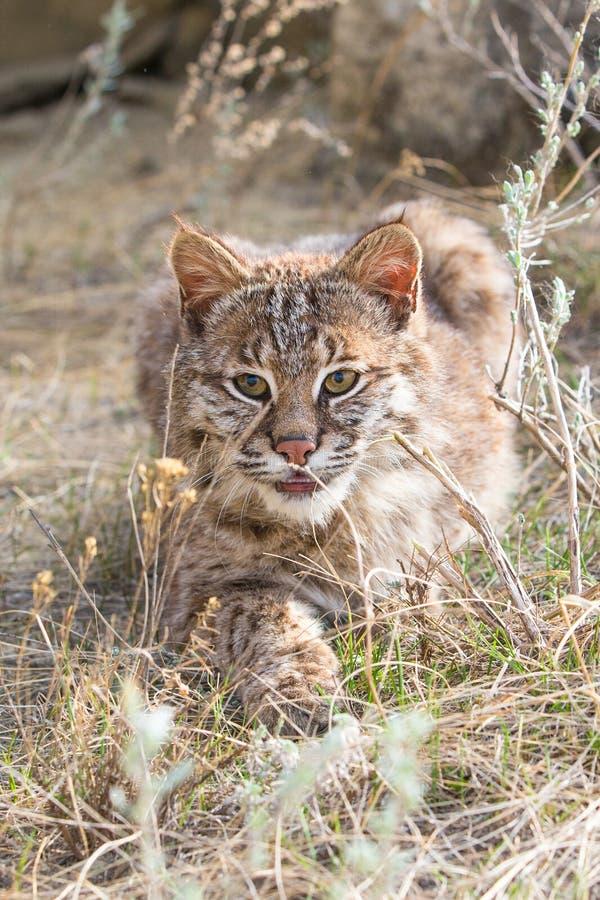 Appostamenti del gatto selvatico sulla preda fotografia stock