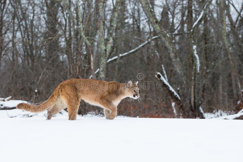 Appostamenti del leone di montagna verso la sua preda fotografia stock