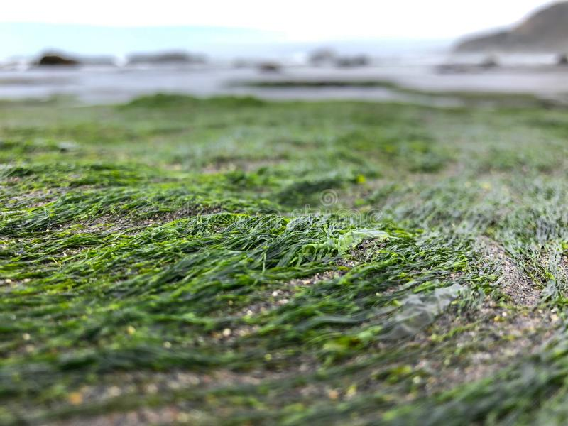 Approach of algae of the Chilean coast royalty free stock images