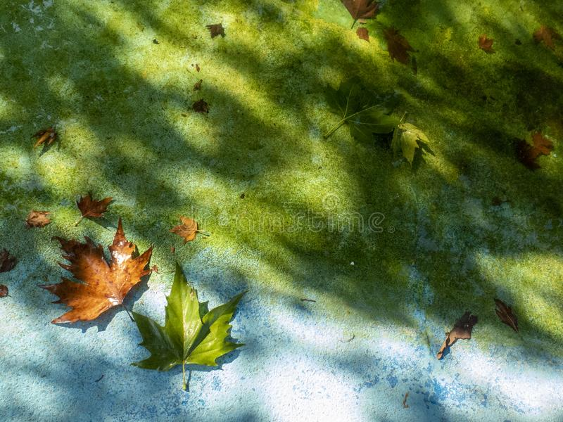 Approaching autumn, the first fallen maple leaves near the pond on a green and blue background stock images