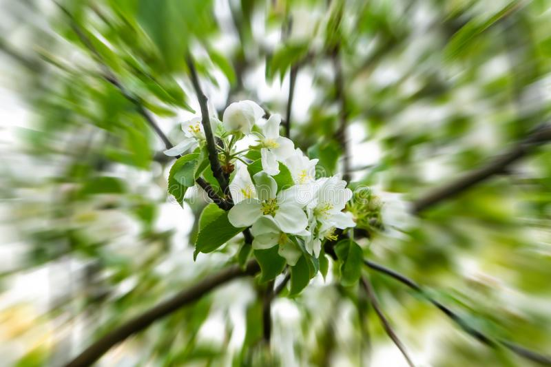 Approaching bouquet of white flowers apple-tree cherry on a background of green leaves spring design acceleration blur rays royalty free stock photos