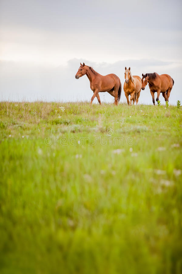 Approaching horse herd. Vertical image of approaching horse herd in a green pasture stock photo