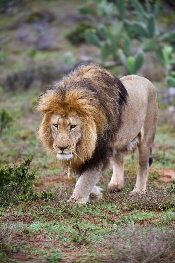 Download Approaching Lion stock image. Image of muscular, conservation - 7445707