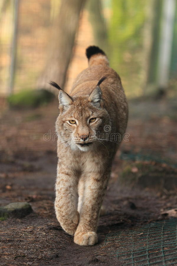 Approaching lynx royalty free stock images