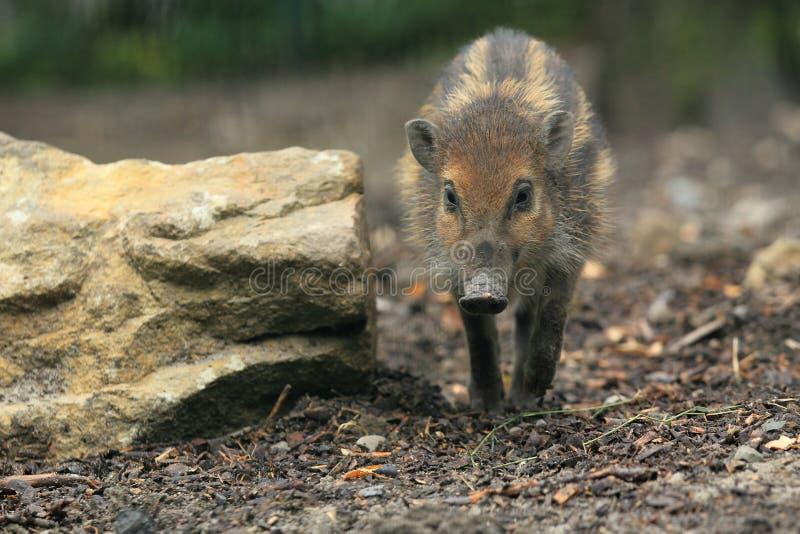 Approaching visayan pig. The approaching juvenile of visayan pig stock image