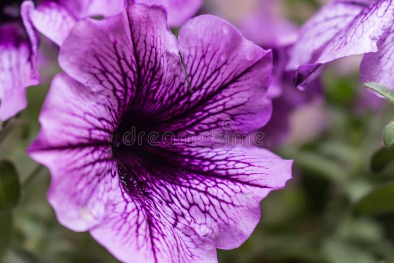 Approccio di un fiore viola con i suoi dettagli fotografia stock libera da diritti